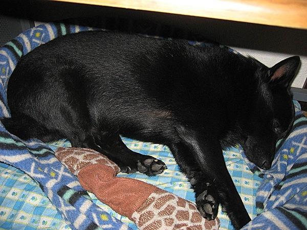 犬の寝姿に現れる心理状態を解説します!