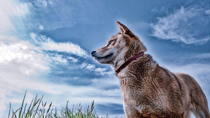 柴犬の胡麻毛の性格や特徴、見分け方や子犬の価格まで
