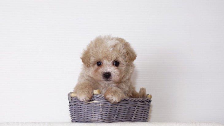 人気の『超小型犬』3選!飼う時のコツや必ず注意すべきことは?