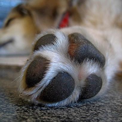 犬が肉きゅうを舐める理由について