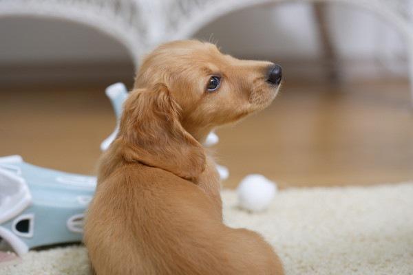 イベルメクチンは犬の寄生虫感染予防に効果的な薬