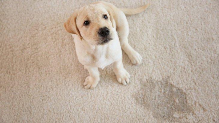 犬が『うれしょん』する理由とは?やめさせる方法まで