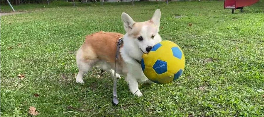 ボールが好きすぎて豹変しちゃうコーギーが可愛い件!