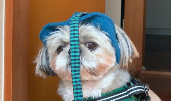 帽子の訓練をしようとするが、お散歩も嫌で頑固が止まらないシーズー