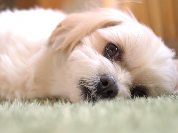 犬の頻尿について 症状と原因、考えられる病気と治療や対処法