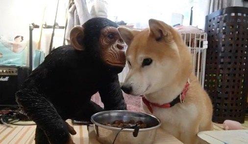 チンパンジーの置物の前にご飯を置いたら、犬はどんな反応をする?試してみた結果