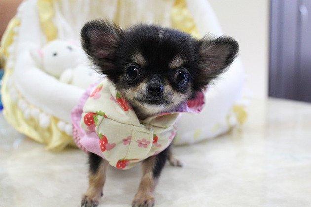 極小犬を飼う時に注意すべきこと 低血糖の危険性と飼い主にできる工夫