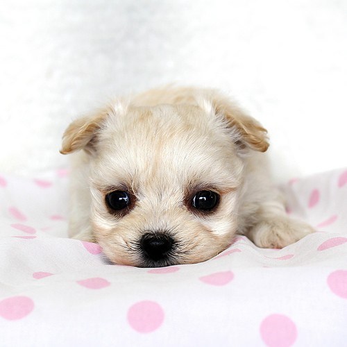 チワマルはチワワとマルチーズのミックス犬!かわいい画像(まとめ)