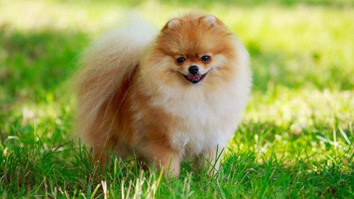 フサフサ♡巻き尻尾が魅力的な犬種5選