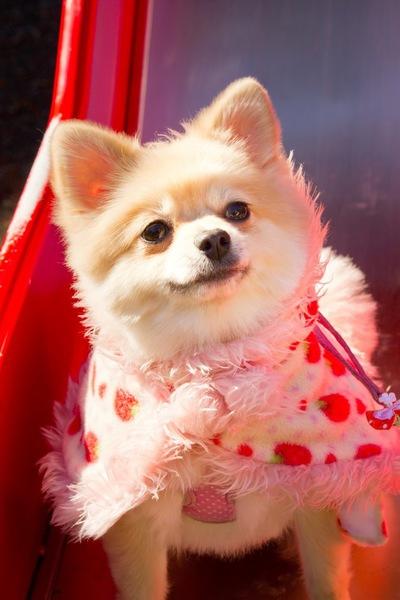 ポメラニアンの子犬を迎える際の5つの注意点
