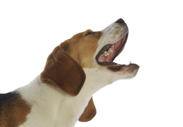 『吠える犬種ランキング』ペット用スマートカメラの会社が発表
