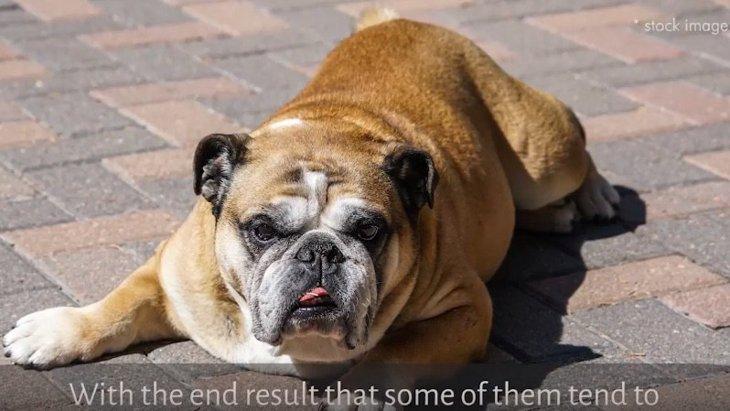 鼻が低い短頭種犬が陥りやすい熱中症。注意すべき兆候とは?