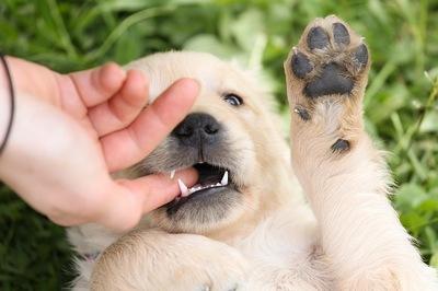 子犬を迎えた時にするべき5つの健康チェック