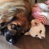 Q「超大型犬と小型犬は一緒に暮らせるの?」A「はい、暮らせます!!!」