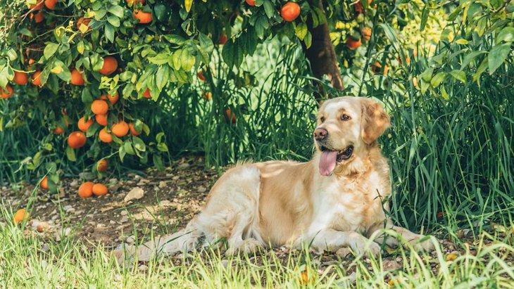 柑橘類に致命的な被害を与える細菌を犬たちが探知【研究結果】