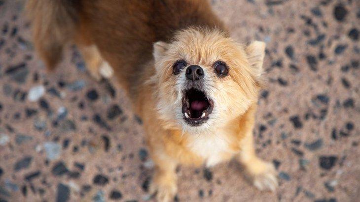 犬が『枯れた鳴き声』を出すときに考えられる危険な原因2選