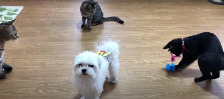 『ボク、猫なので…』猫になりたいマルチーズさん♡