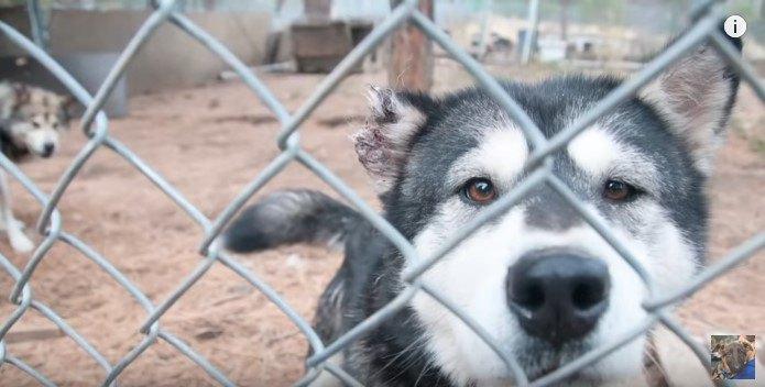 マラミュートの子犬工場を摘発。人との交流がない劣悪な環境からの救出