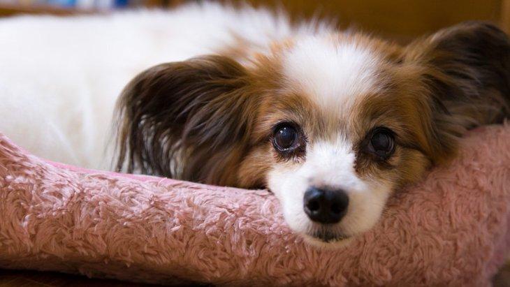 犬の更年期障害、治療法や予防法はあるの?