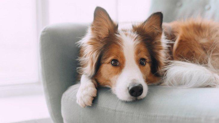犬が飼い主の椅子の周りで寝る4つの理由