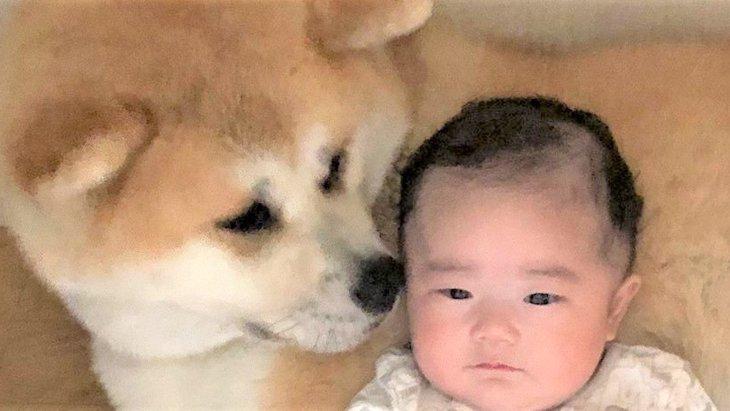 流行ハッシュタグから★秋田犬×あかちゃんの最強平和コンビとは