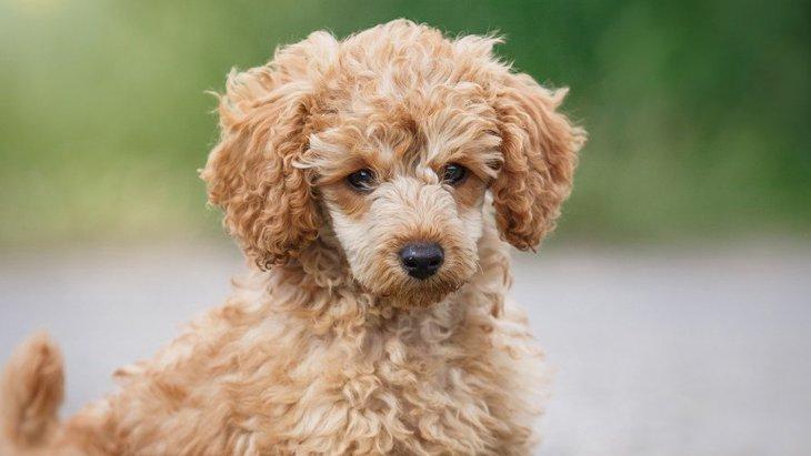 トイプードルの鳴き声からわかる犬の気持ち!無駄鳴きの意味や子犬のしつけ方