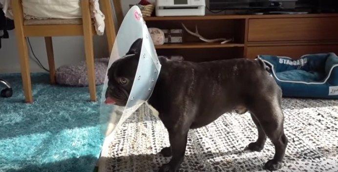 愛犬にエリザベスカラーを付けたら…フレブルちゃんの反応が予想外過ぎる!