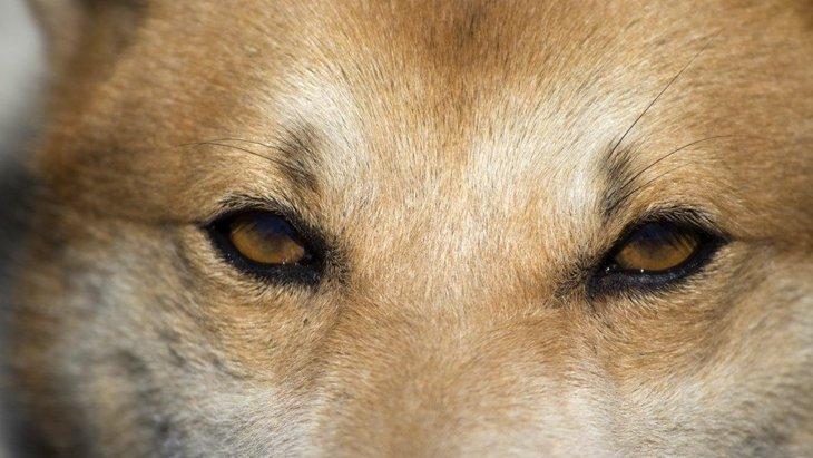 犬のホルネル症候群とは?原因や症状、検査や治療法について