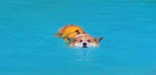 ピコピコピコ…泳ぐコーギーさんの破壊力がすごいとツイッターで話題!