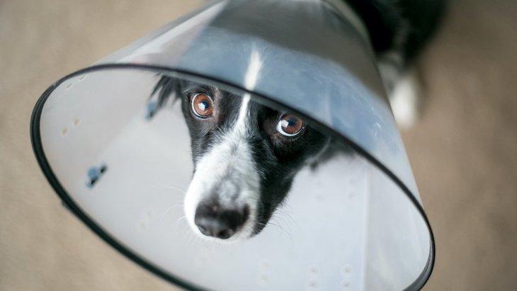 犬の福祉とエリザベスカラーについてのリサーチ【研究結果】