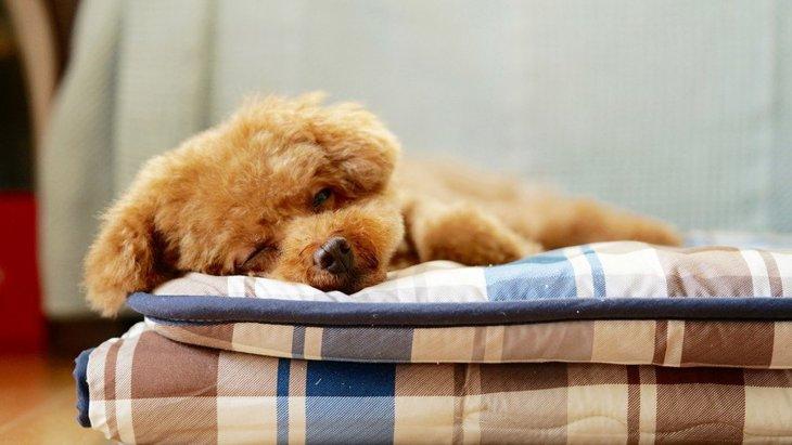 犬が布団を掘るのはなぜ?しぐさの持つ意味とその時の気持ち