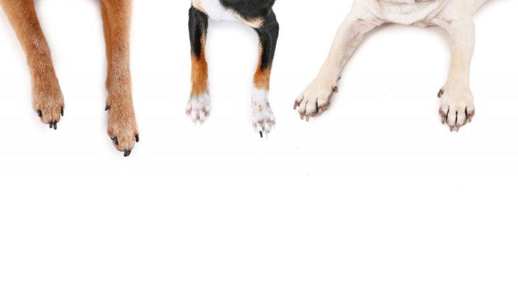 あなたの犬は右利き?左利き?英国での犬の利き足研究結果