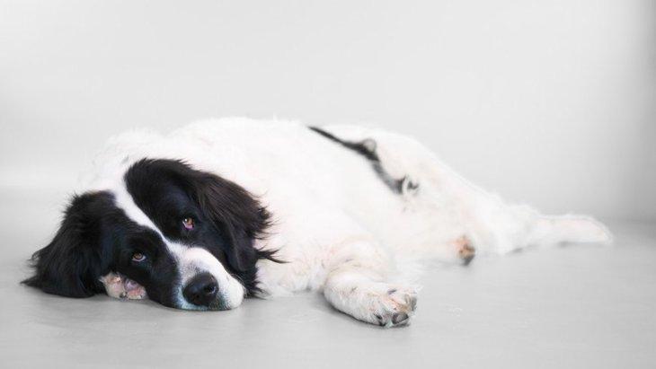 ランドシーアってどんな犬?性格や特徴、値段や飼い方まで