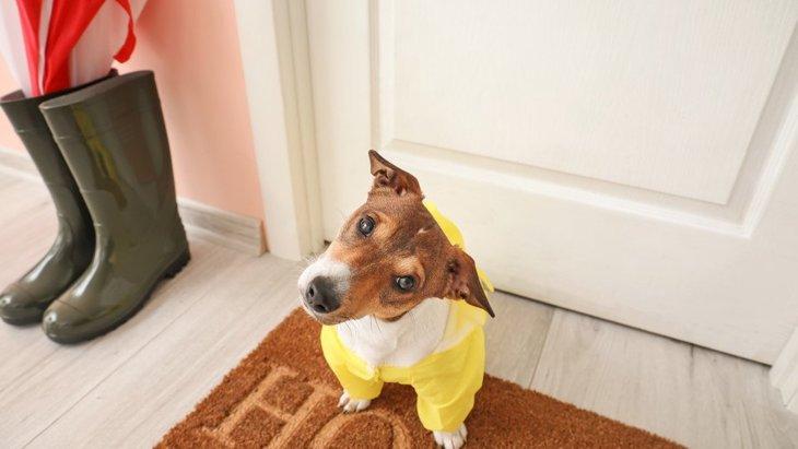 犬が『雨の日に散歩を嫌がる…』!主な心理や適切な対処法を解説