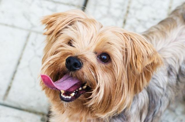 短頭種の犬は歯並びが悪い?歯のしくみとケアのしかた