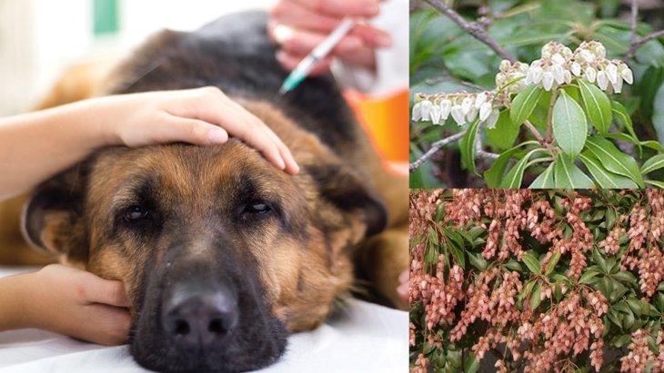 犬が馬酔木(アセビ)を食べたら中毒に!散歩中は注意が必要です