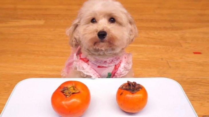 トイプードルちゃんが検証してみた♡甘い柿と渋い柿♡おさるさんは分かるのかな!