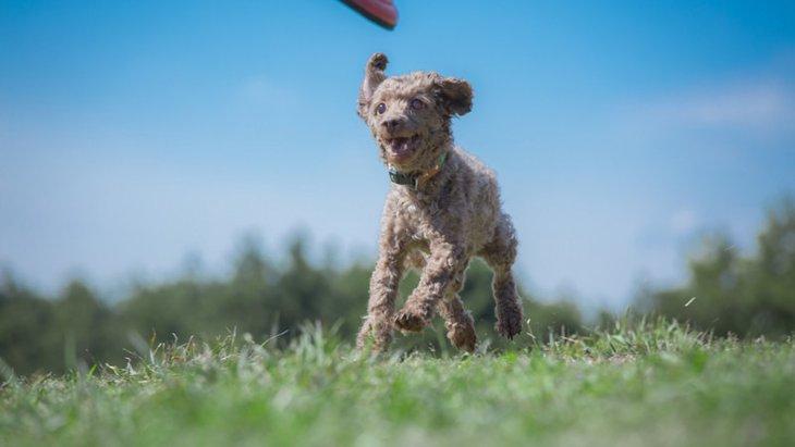 犬がディスクをリバースしても離さない!リリースさせるための練習法