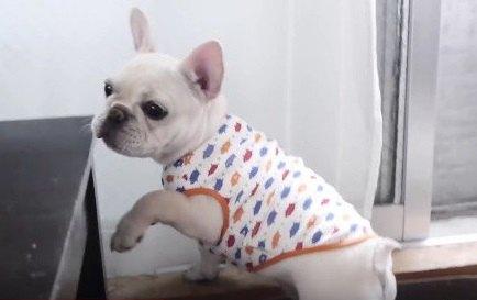 【初体験】子犬のフレブルに初めて洋服を着せてみた結果