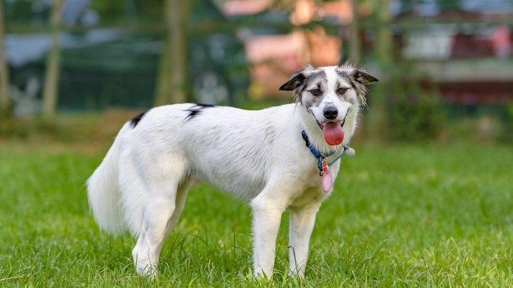 犬が舌を出しっぱなしにする時の心理4選