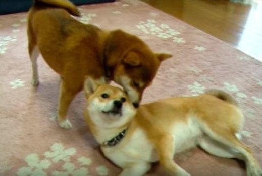 優しい柴犬ママの愛情たっぷりの耳掃除にほっこり♡