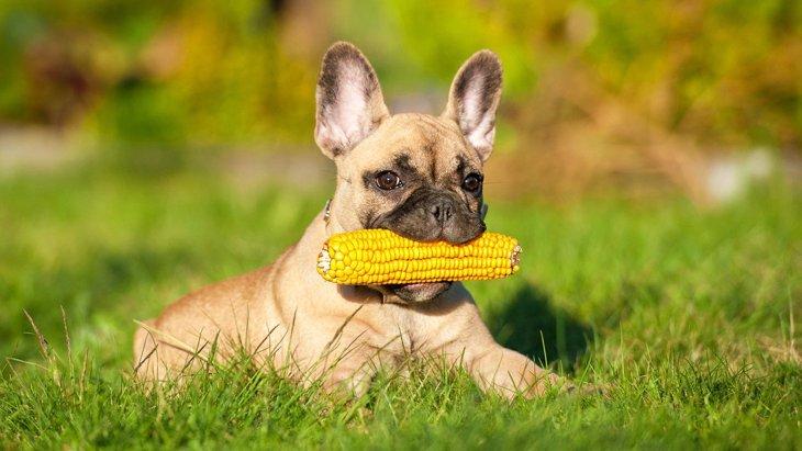 犬は『トウモロコシ』を食べても大丈夫?与える際に必ず注意すべきポイントは?