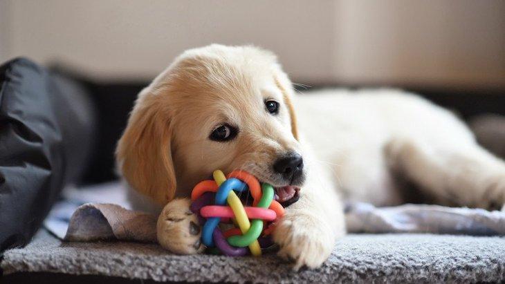 犬がおもちゃに唸る時の心理4選!嬉しいの?それとも怒ってる?