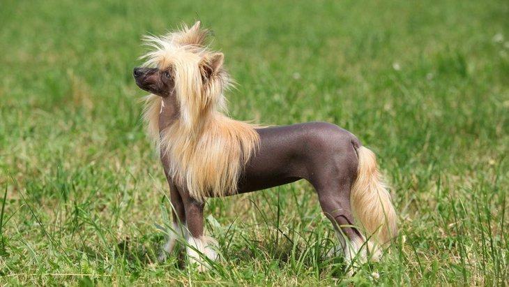 チャイニーズクレステッドドッグの性格や特徴、飼い方や子犬の価格まで