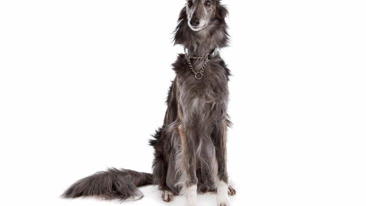 シルケン・ウィンドハウンドの特徴や性格とは?アメリカで誕生した新犬種