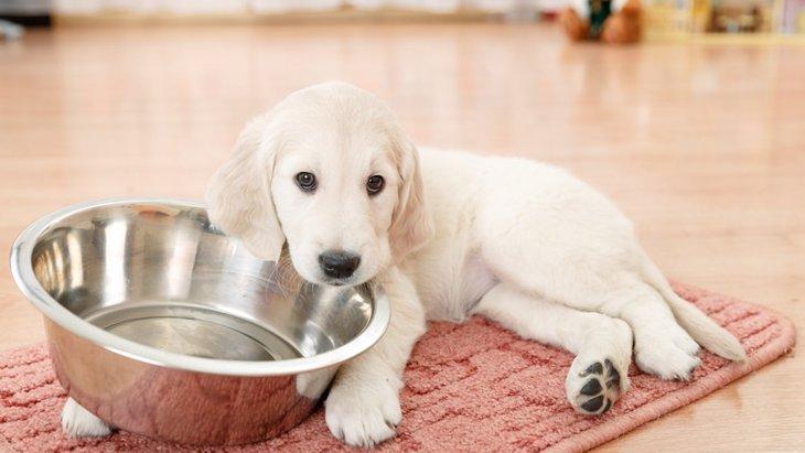 食事のしつけは、子犬のトレーニングの第一歩!その手順と気を付けるべきポイント3つ