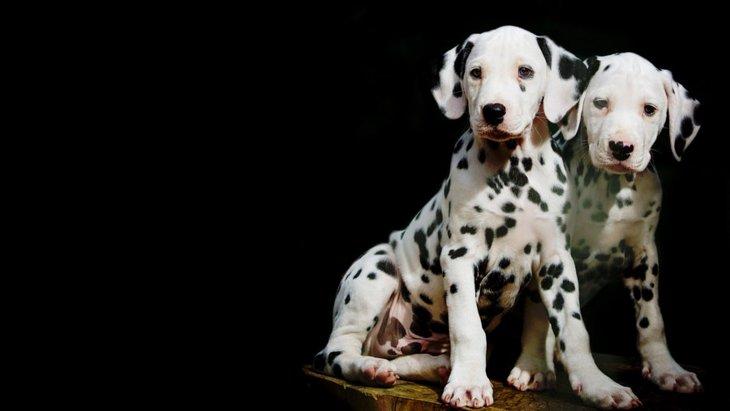 101匹わんちゃんのモデル犬「ダルメシアン」ってどんな犬?