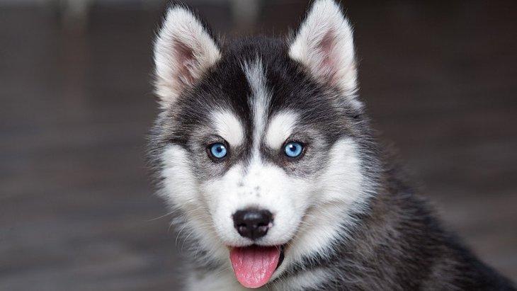 『青い瞳』を持つ犬種3選!なぜあんなにも美しい目を持ってるの?