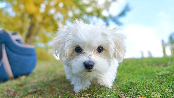 『甘えん坊な犬種』5選!あなたの愛犬はどうやって甘えてきますか?♡