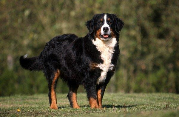バーニーズマウンテンドッグの性格と大きさ、寿命や飼い方、しつけから子犬の価格まで